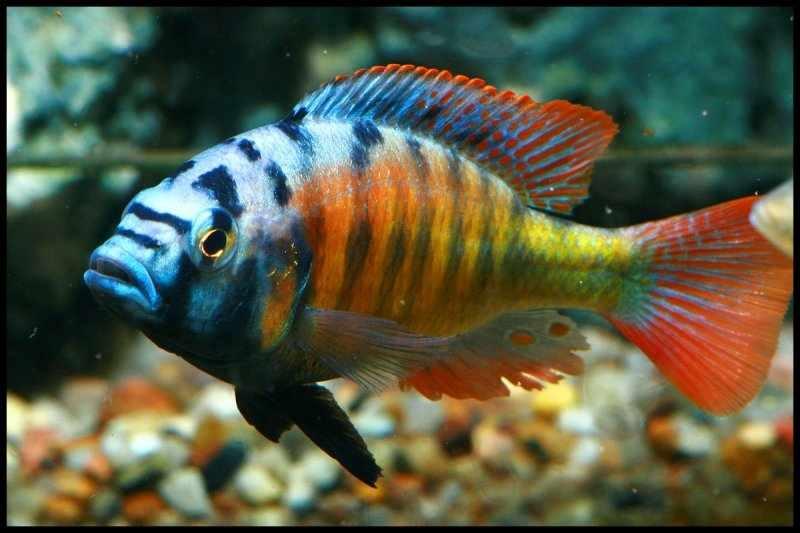 s g rfan web ruh z web ruh z egy b afrikai s gerek haplochromis sp thick skin ch44. Black Bedroom Furniture Sets. Home Design Ideas